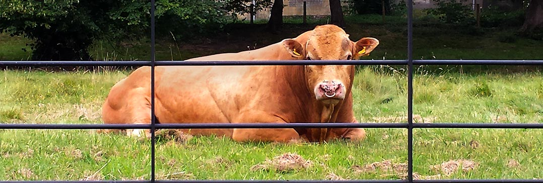 A bull securely fenced in behind one of our estate fencing installations.